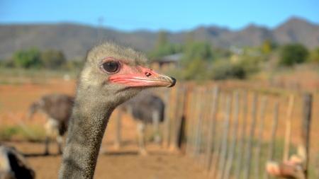 Struisvogel in Oudtshoorn