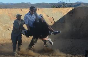 struisvogel rijden Oudtshoorn