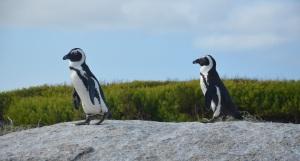 De pinguïns van Simon's Town