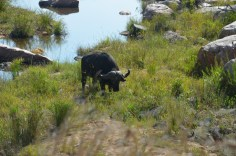 Buffel Krugerpark