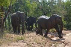 Olifanten Krugerpark