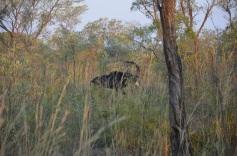 Sabelantiloop Krugerpark