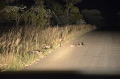 Tijdens een nachtelijke safari zien we 11 wilde honden. In het hele park leven er slechts 200.